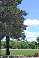 Pine tree at Riverview park